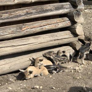 Tausche Schwein gegen Schaf - 0