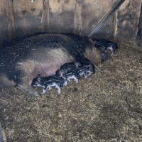 Tausche Schwein gegen Schaf - 2